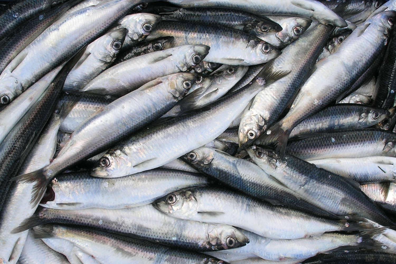 Kaip išsirinkti silkę ar kitą žuvį - Vaida Kurpienė