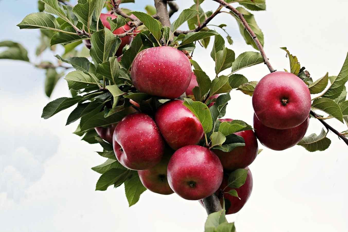 Obuolius valgyti su odele ar be